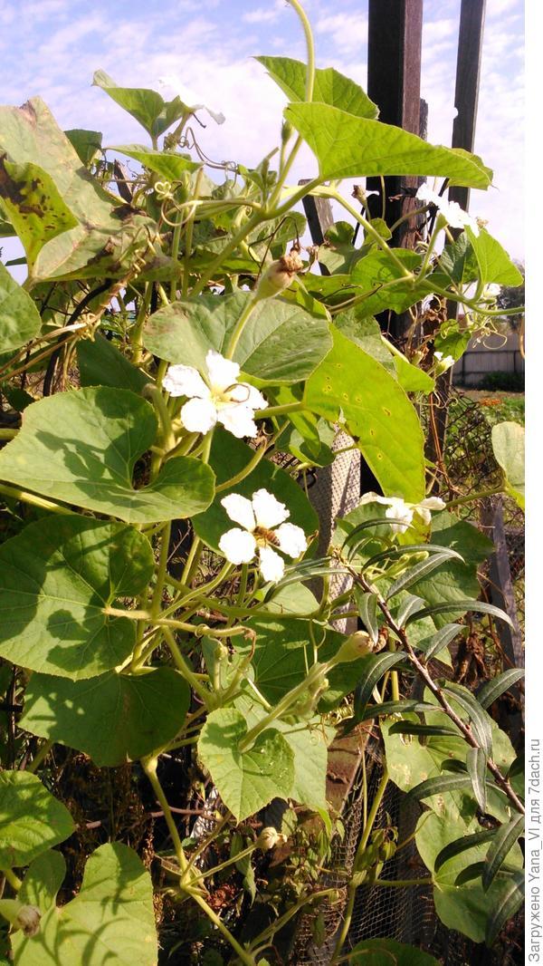 цветёт лагенария