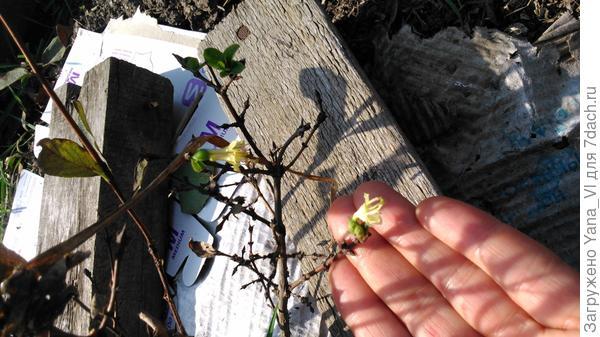 жимолость листья сбросила, а цветочки появились