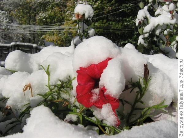 петунья в снегу