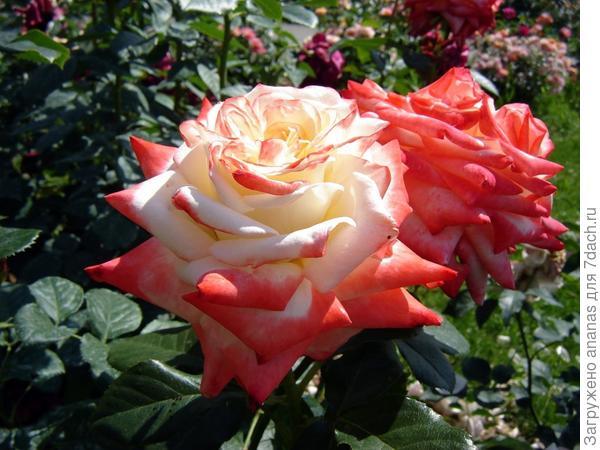 Розы для Софии