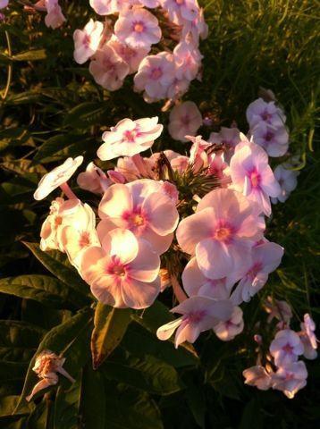 Нежно-розовые флоксы