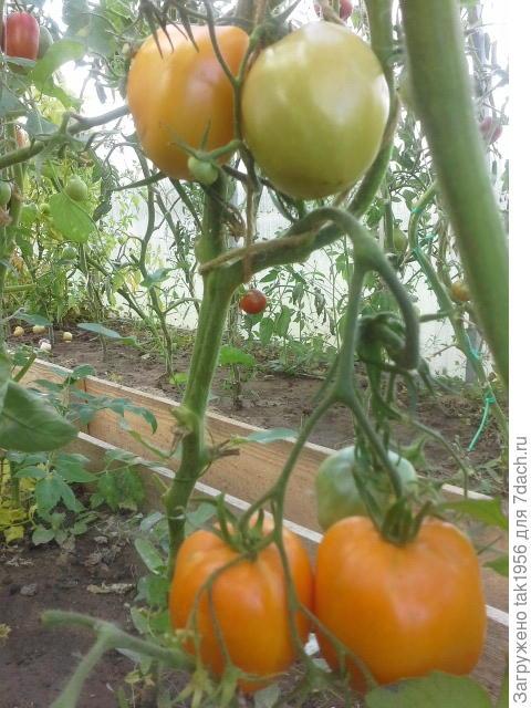жёлтый помидор