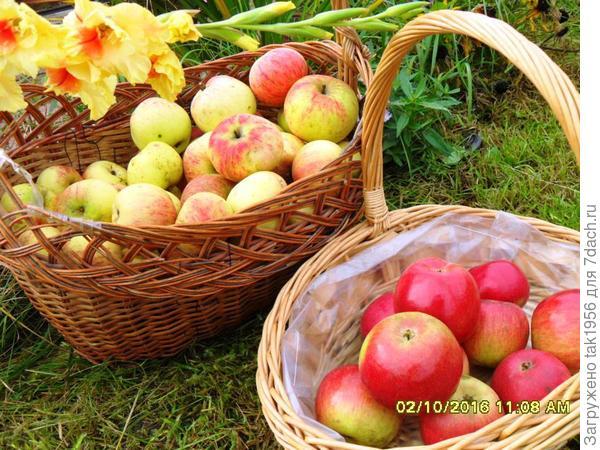 яблочки осенние