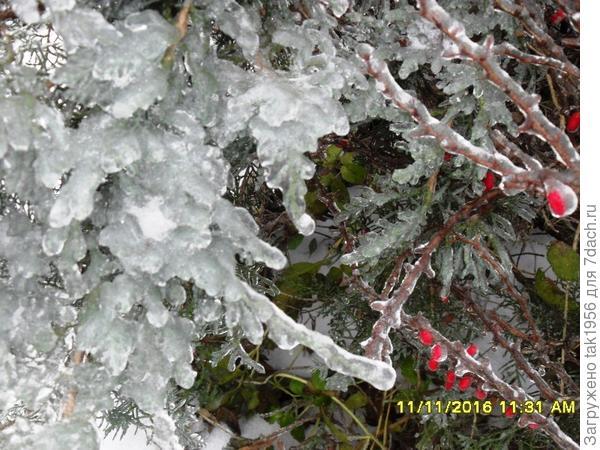Можжевельник и барбарис в ледяном плену
