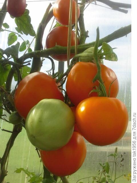 Можно ли сажать в теплицу с помидорами репчатый лук 89
