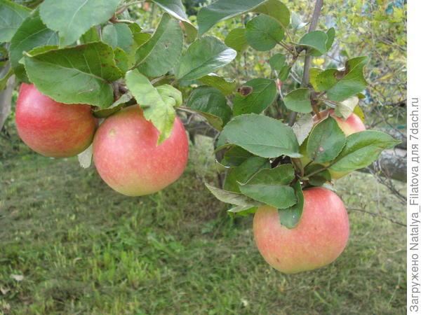 яблочки 2016
