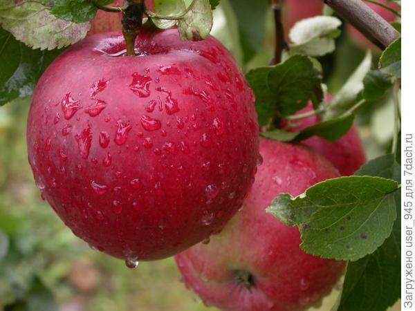 Вот такие были яблочки!