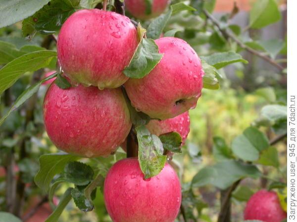 Яблочки!
