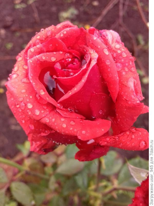 Розы прекрасны в любую погоду, и дарят нам свою красоту и тепло!