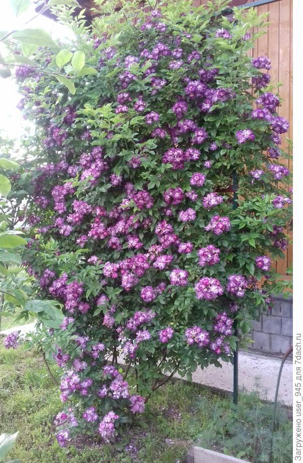 Моя плетистая роза Вейльхенблау