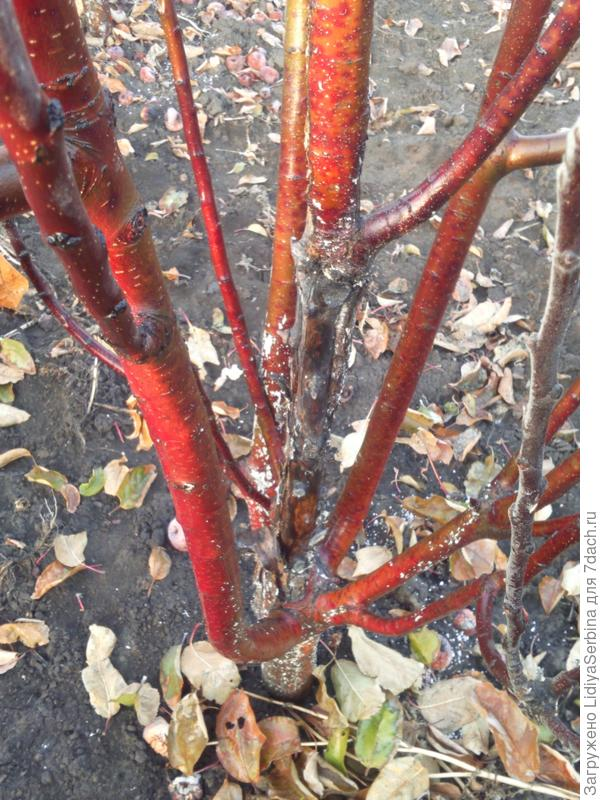 У молодых яблонь лопается кора. В чем причина и как их вылечить?