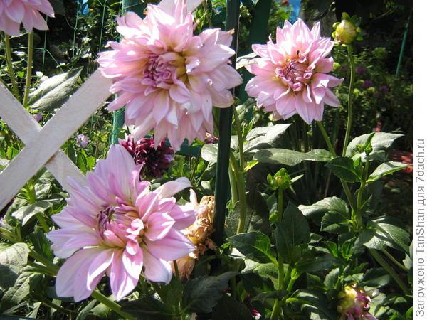 георгин,осеннее цветение