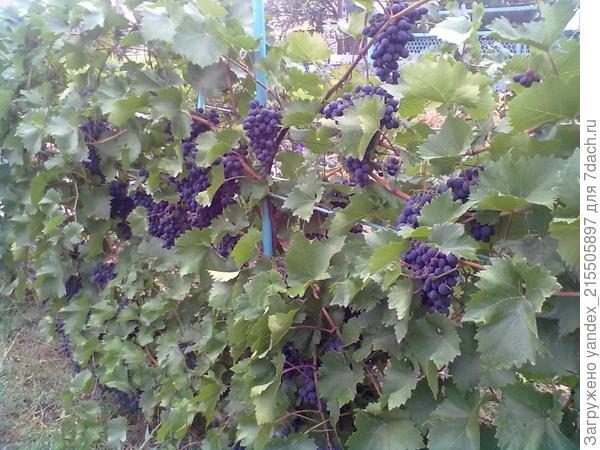 виноград сорта страшенский