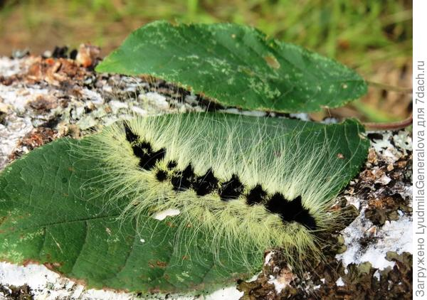 Гусеничка мохнатая