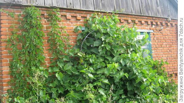 С южной стороны дома сам по себе вьётся на стену виноград Изабелла