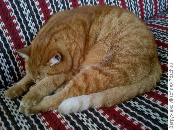 рыжий спит
