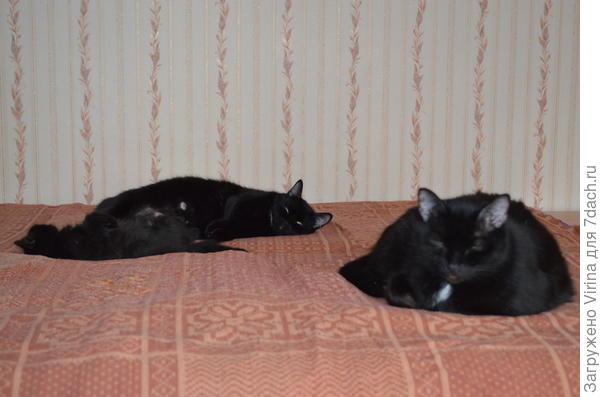 три черных кошки