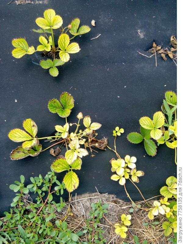 Клубника становится светло зеленой почти белой и гибнет. Саженцы первогодки. И такое не только с клубникой, молодые деревья, цветы...