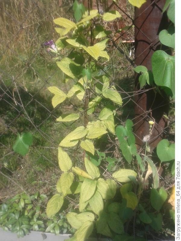 Добрый день, подскажите, пожалуйста, чем болеет клематис? Посадила года 3 назад, Он растет, но листики вот такого странного цвета, как будто золотые, цветет плохо. листья не скручиваются, только цвет странный. рядом растут 2 здоровых клематиса. Заранее всем спасибо