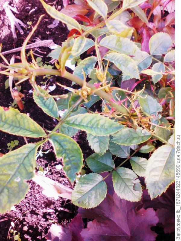 деформированные побеги и листья
