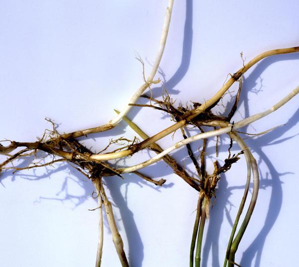 Пырей успешно размножается корневищами