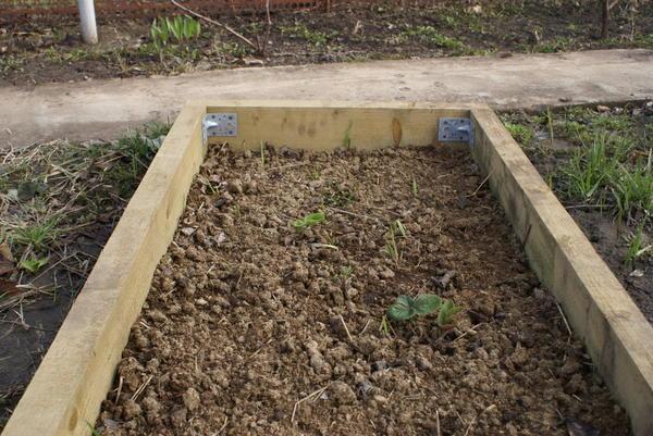 Садовая земляника на чистой грядке весной