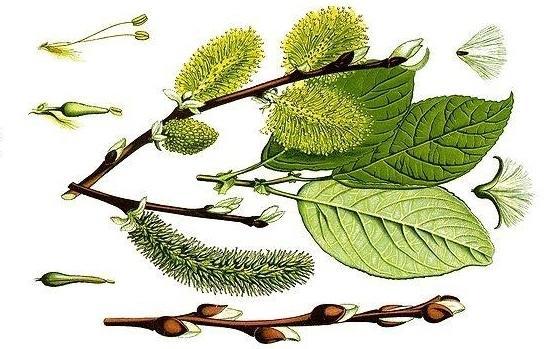 Ботаническая иллюстрация книги O. B. Tome  Flora vom Deutschland, Osterreich und der Schweiz