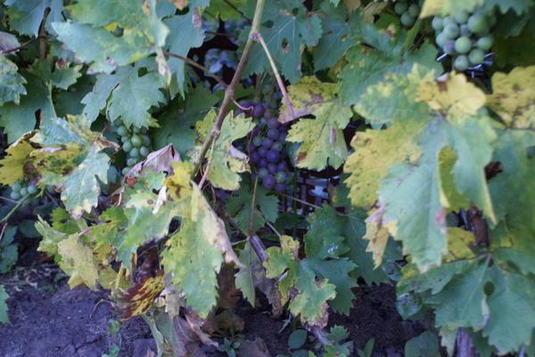 Желтеют и даже сохнут листья винограда