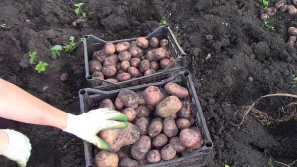 Убранный картофель в ящиках