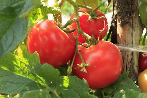 Зрелые помидоры на ветке