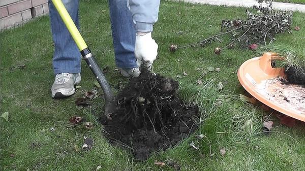 Аккуратно вынимаем клубни, придерживая за остатки стеблей
