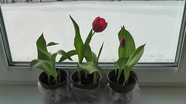 Мой первый февральский тюльпан