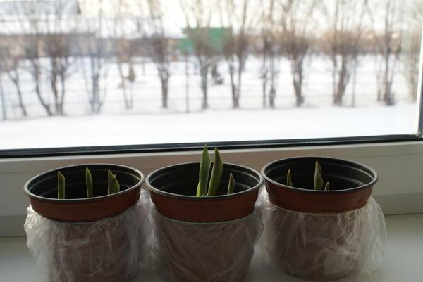 Ростки тюльпанов через два дня после выставления на свет