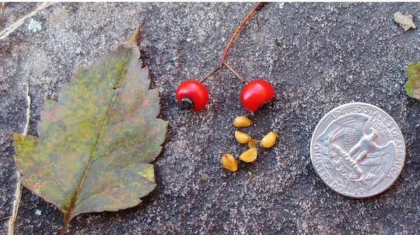 Лист, плод и семена боярышника crataegus cordata. Фото сайта ouroneacrefarm.com, автор фото Janet Pesaturo