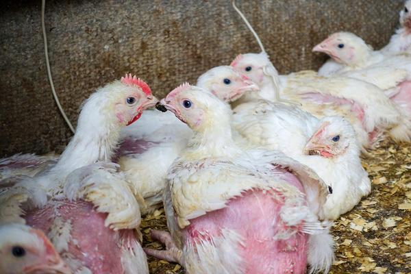 Внешний вид цыплят очень важен