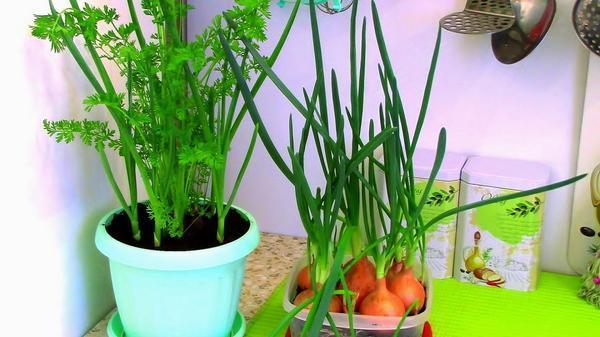 Огород на подоконнике: выращиваем лук, чеснок и морковь на зелень