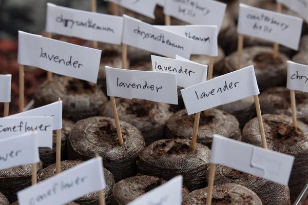 Лаванду можно размножить семенами