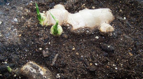 Выращивание имбиря в открытом грунте. Фото сайта kustroz.ru
