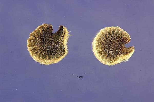Семена штокрозы. Фото сайта plants.usda.gov