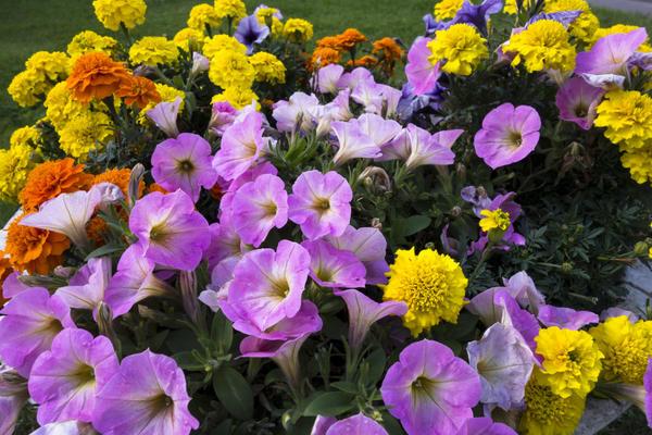 Петуния и бархатцы - популярные садовые цветы