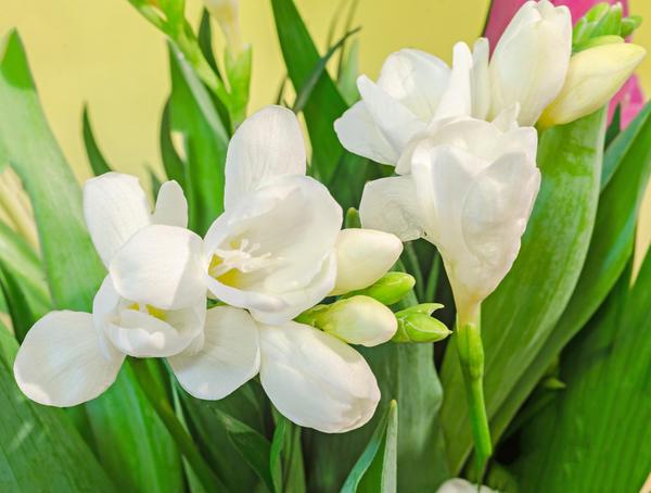 Белые цветы фрезии