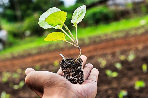 Мощные корни капусты