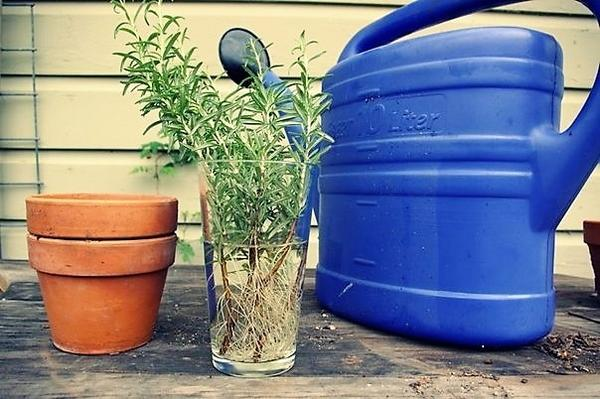 Раствор гетероауксина для замачивания корней. Фото с сайта the-grackle.blogspot.com