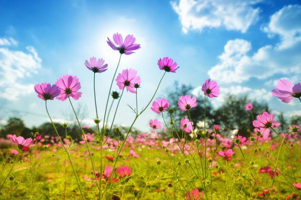 Космея - солнечный цветок