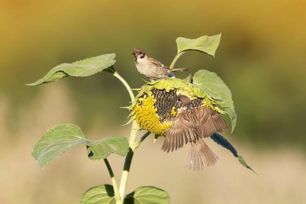 Нашествие вредителей начнется, когда семена созреют