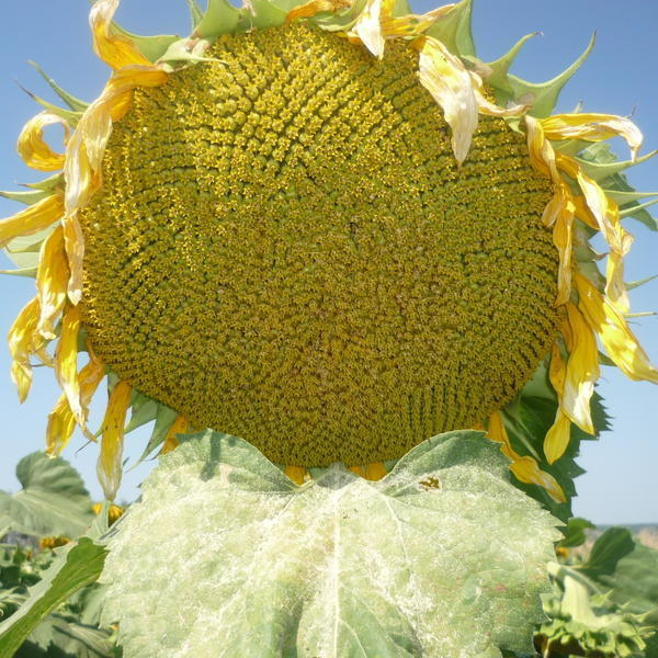 Подсолнух, сорт СПК. Фото с сайта богучар-семена.рф