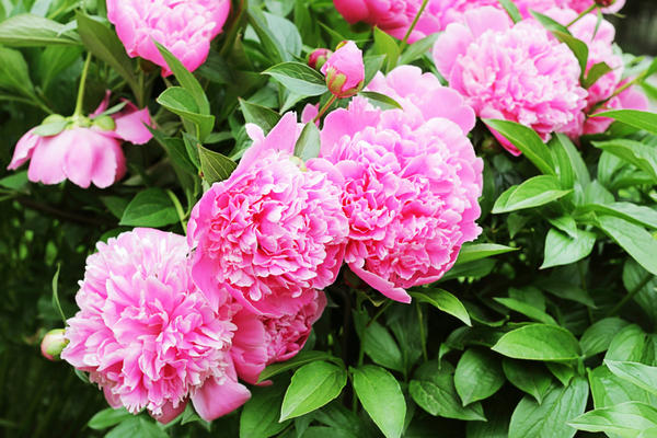 Обильное цветение пиона