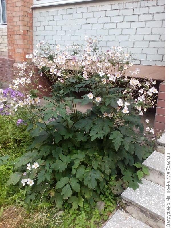 А это взрослое растение