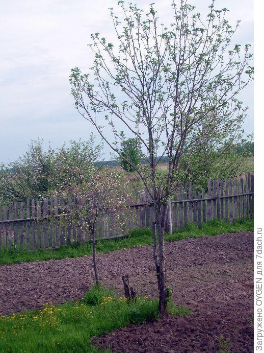 Яблоня с прямыми ветвями.
