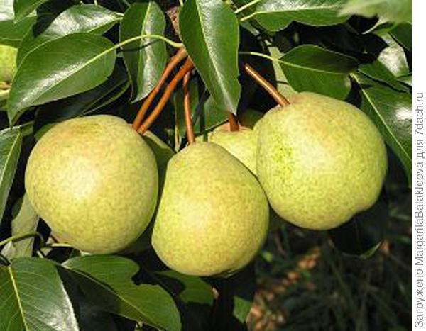Как заставить лимон цвести и плодоносить